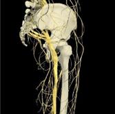 anatomie nerveuse hanche
